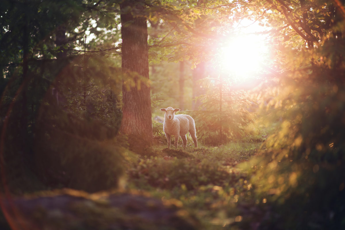 Lamb in forest