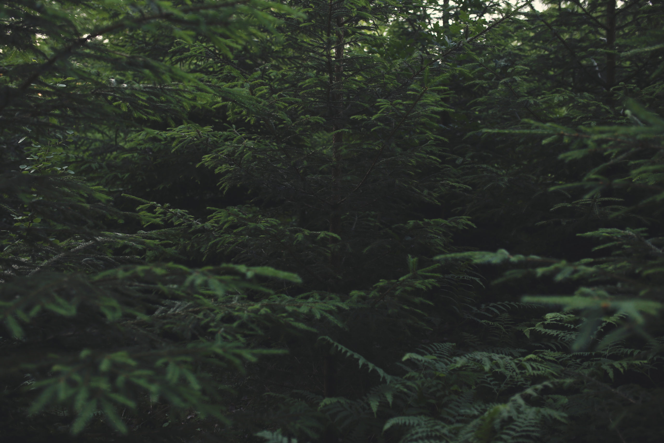 Free photo of spruce trees
