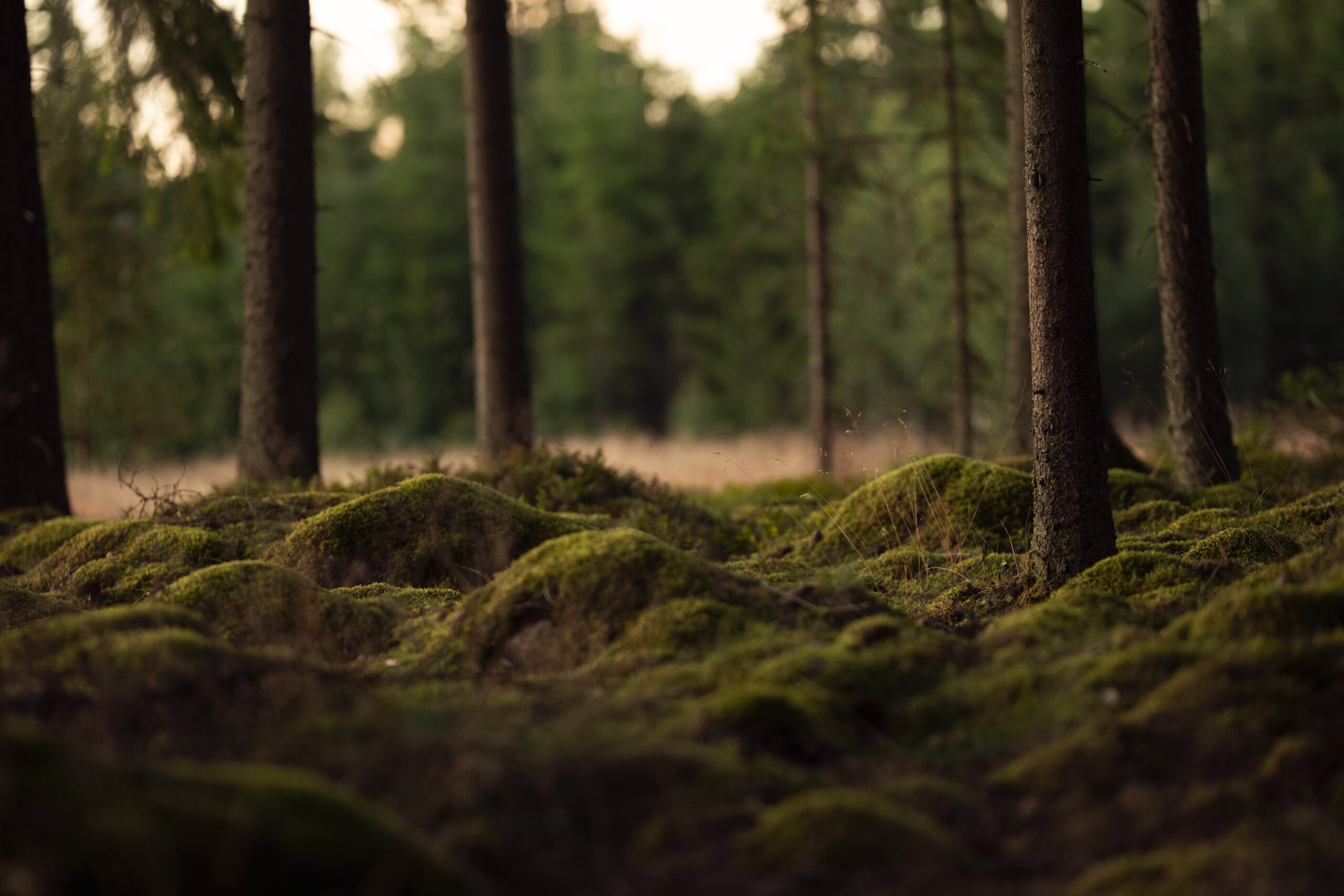 A summer evening in a swedish forest