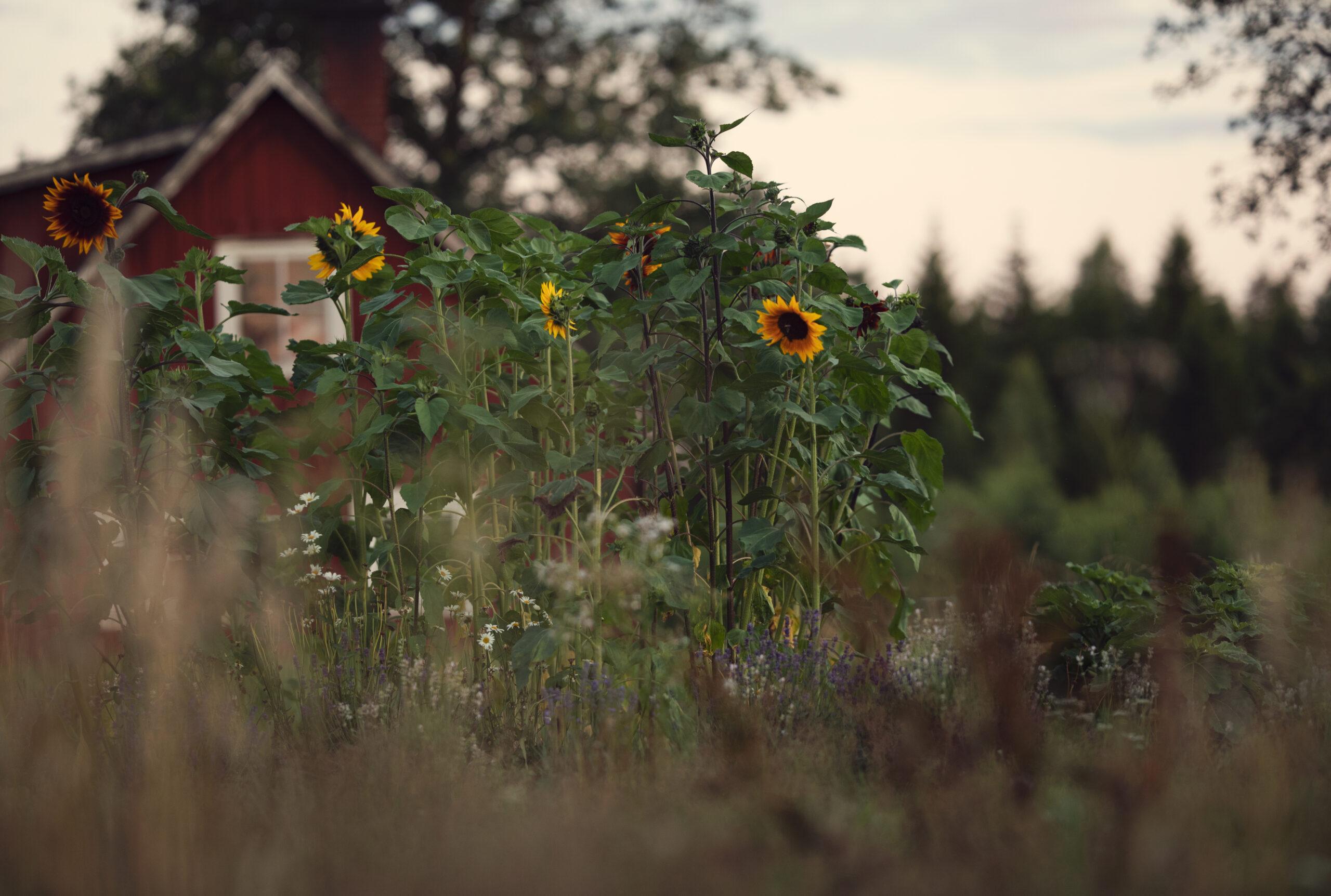 Sunflower plants the sea