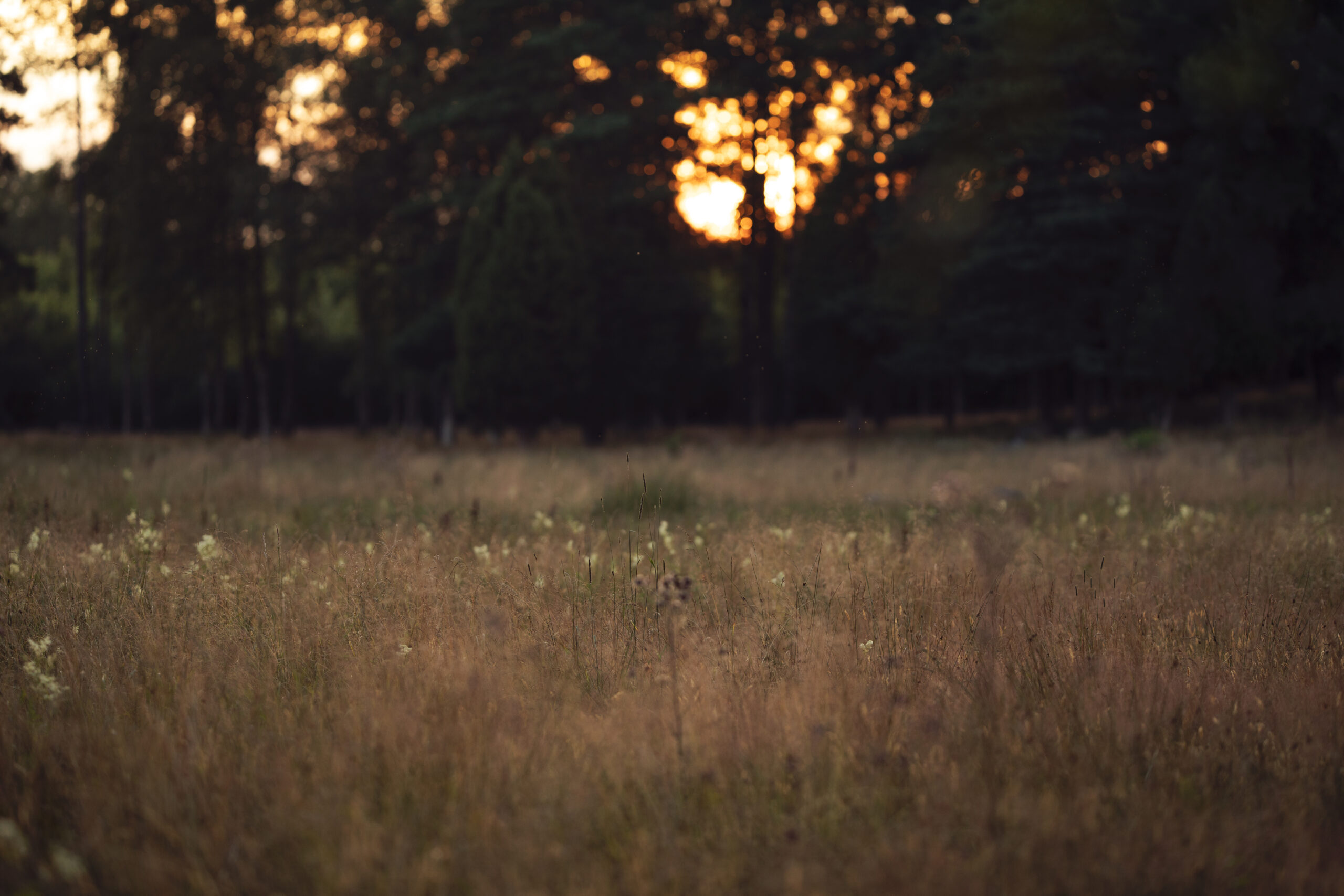 sun setting by summer field